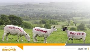 Des moutons et des vaches en guise de panneaux de signalisation