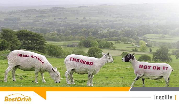BestDrive - Des moutons et des vaches en guise de panneaux de signalisation